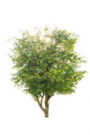 tamarind tree on white background