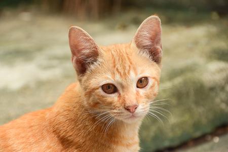 orange tabby cat looking the camera. Orange eyes cat
