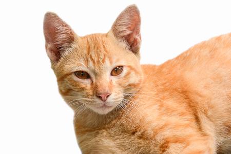 Orange tabby domestic shorthair cat  lying,Orange eyes cat Stock Photo