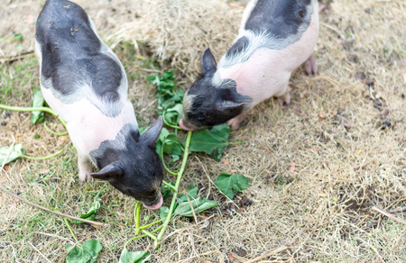 Small Pigs Eating Vegetable