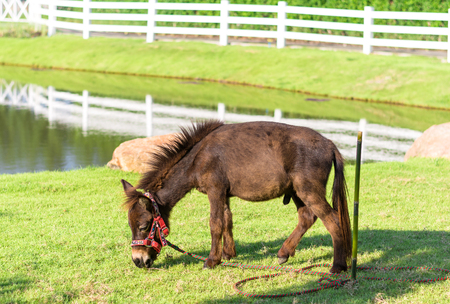 brown dwarf horse in the field Stock Photo