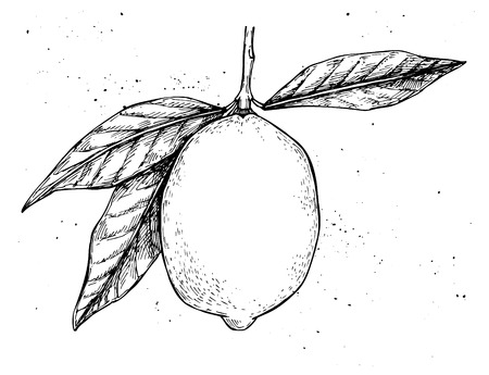 rinds: Hand drawn vector illustration - Lemon