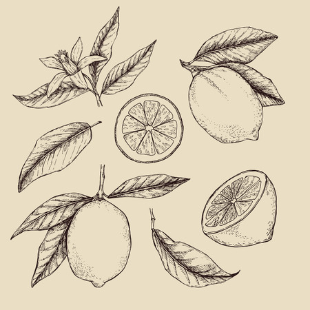 rind: Hand drawn vector illustration - Collections of Lemons. Branch with lemon. Lemon blossom