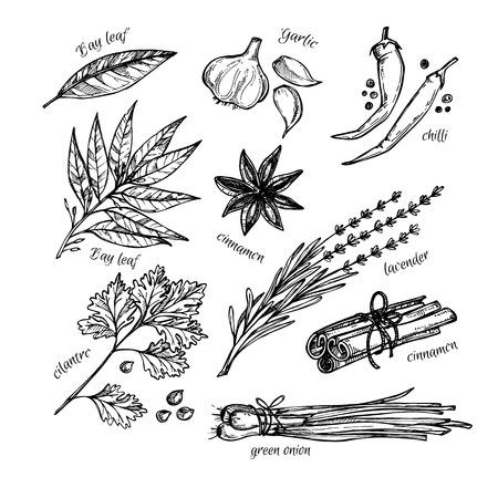 leaf illustration: Hand drawn vintage illustration - herbs and spices. Vector