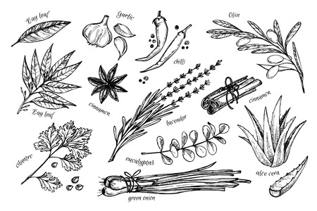 Hand drawn vintage illustration - herbs and spices. Vector