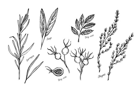 tarragon: Hand drawn vintage illustration - herbs and spices (sage, tarragon, wild rose and thyme). Vector Illustration