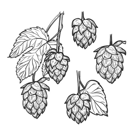 stout: Hand drawn vector illustration - Hops plant. Perfect for malt, ale, lager, stout, labels, packaging etc. Sketch design element. Beer fest Vectores