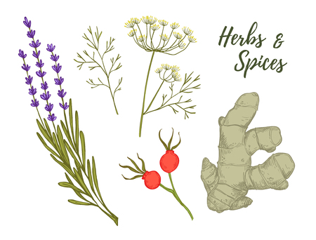 Hand drawn vintage clip art - herbs and spices. Organic drug plants. Botanical illustrations. Vector Illustration