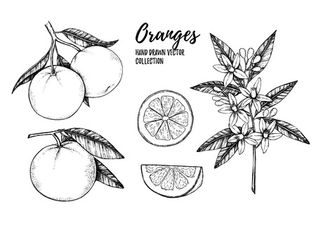 Hand drawn vector illustration - Collections of Oranges. Branches with citrus fruits. Flowering plant with leaves. Perfect for packing, greeting cards, invitations, prints etc
