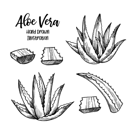 Hand drawn vector illustration. Aloe vera. Herbal plant. Clipart in sketch style. Perfect for cosmetics labels, invitations, cards, leaflets etc  Ilustração