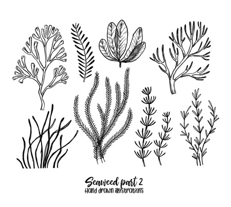Hand drawn vector illustrations. Seaweed. Herbal plants in sketch style. Perfect for labels, invitations, cards, leaflets, prints etc Vettoriali