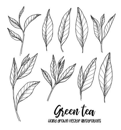 Hand drawn vector illustrations. Set of green tea leaves. Herbal tea. Illustration in sketch style. Vettoriali