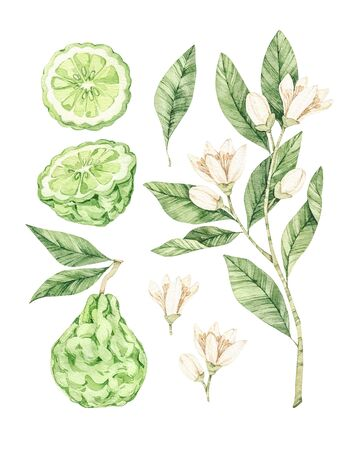 Watercolor botanical illustrations. Fresh bergamot blossom. Citrus bergamia (flowers, fruit and leaves) collection. Perfect for wedding invitations, cards, prints, posters, packing. Archivio Fotografico - 131964116