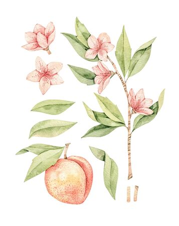 Watercolor botanical illustration. Botany. Peach fruit, pink flowers and leaves. Floral blossom elements. Perfect for wedding invitations, cards, prints, posters, packing. Archivio Fotografico - 131964131