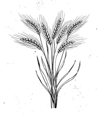 Hand drawn vector illustration - Wheat. Rustic bouquet with stalks of cereals. Design elements in engraving style. Perfect for advertising, prints, packing Vector Illustration