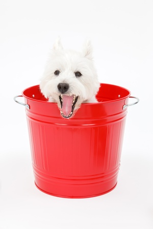 Cute white terrier dog that went into the bucket photo