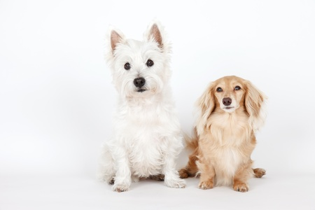 Terrier and dachshund and blank sign Stock Photo