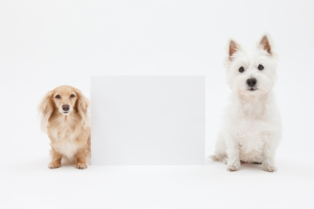 Terrier and dachshund and blank sign 写真素材