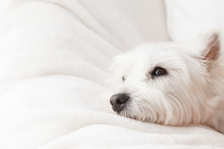 West Highland White Terrier in white background