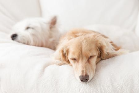 ダックスフント、白いソファで寝ているテリア