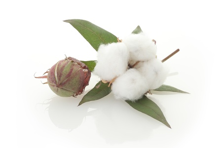Raw cotton, bud, and leaf Stock Photo
