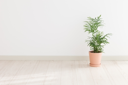 indoor plants: Potted Palm in the room Stock Photo