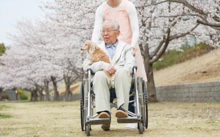 senior asian: Japanese senior man sitting on a wheelchair background of cherry