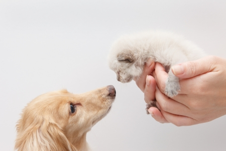 Dog and kitten facing in white background photo