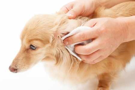 miniature dog: Hand to the ear cleaning of dog Stock Photo