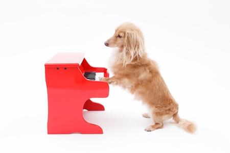 Piano and dachshund in white background Foto de archivo