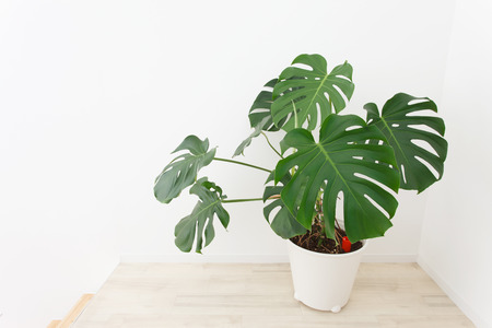 Potted Monstera placed in the room