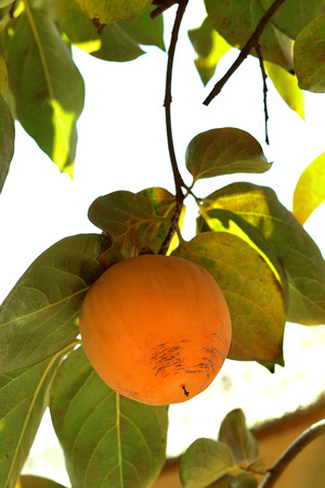 Persimmon tree with Ripe orange fruits in the autumn garden