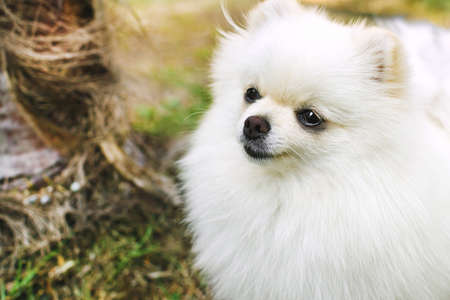 Closeup of pomeranian spitz in the garden. Cute white little dog outdoor.