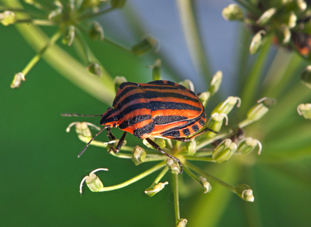 Graphosoma lineatum resting on a flower. Macro. Small depth of sharpness. Stock Photo