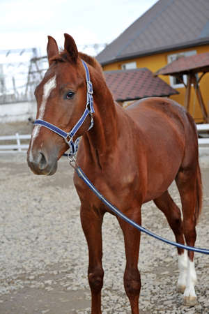 Beautiful brown horse. Portrait of a young sports horse with an asterisk on his forehead in a halter. Stockfoto