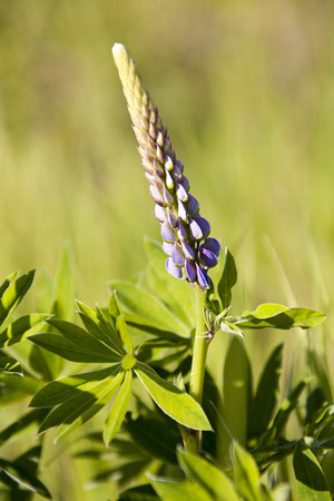hippocrates: Lupin. Leguminous plant. About 200 varieties. First mentioned 460 years BC the Greek physician Hippocrates. Lupin is a grain-crop. The seeds which is used as a food product, animal feed, and also used as fertilizer to restore soil fertility.