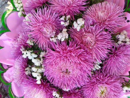 lots of pink garden asters, flowers background