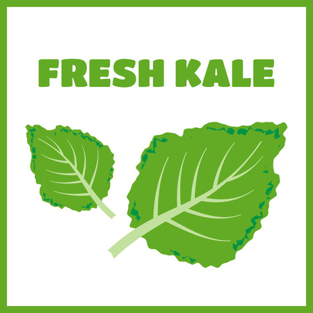dietary fiber: Fresh kale vector illustration. Kale vector set
