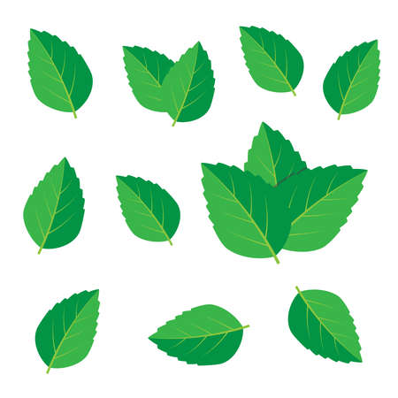 Mint vector drawing. Mint leaves vector
