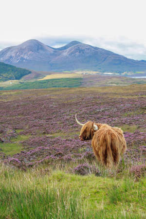 A highland cattle in field Stock Photo - 15772822