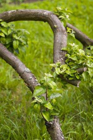 snag: Apple snag with live green leaves