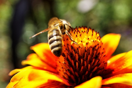bee on flower: Flower with bee