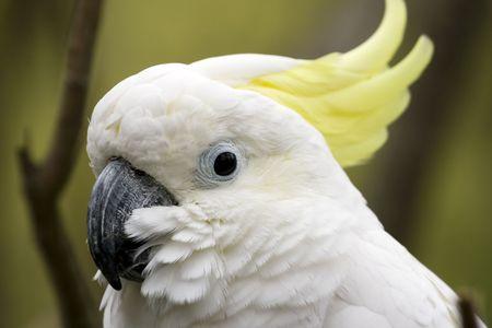 sulfur: sulfur crested cockatoo