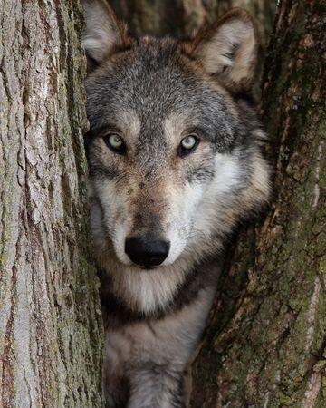 the wolf: Gray Wolf Archivio Fotografico