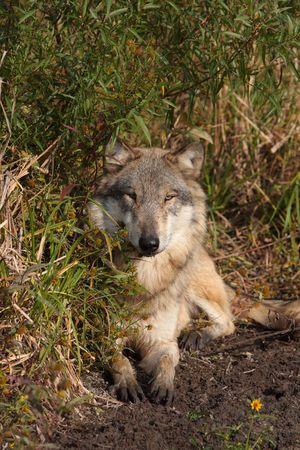 lupus: Grey Wolf canis lupus Stock Photo