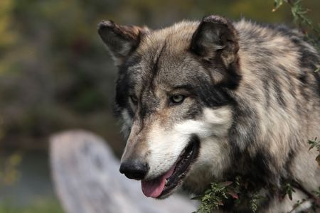 canis lupus: Grey Wolf canis lupus Stock Photo