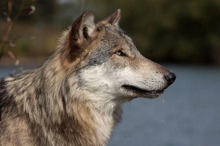 Wolf, canis lupus, portrait in natural setting