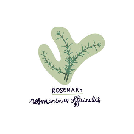 hand drawn herb rosemary vector illustration. Creative herb texture for fabric, wrapping, textile, wallpaper, apparel. Ilustrace