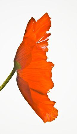 Red Poppy on white Stock Photo