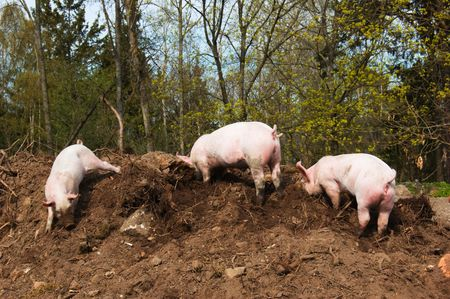 Three little dirty piglets